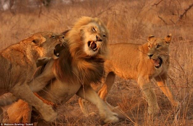 leões brigando 5